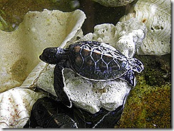 New born turtle at D'Lagoon