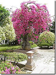 I wish my bougainvilla looked like this.