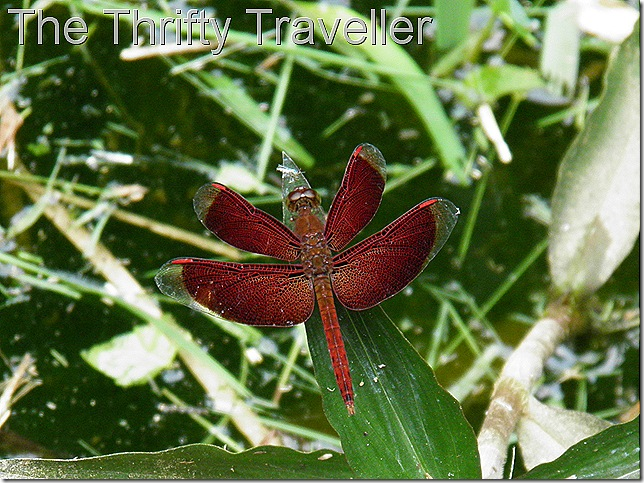 Unusual dragonfly at Templer Park.