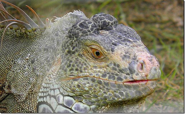 Brontosaurus or iguana?