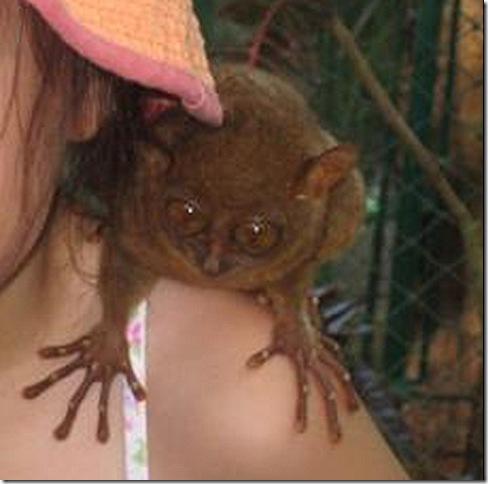 tarsier in philippines