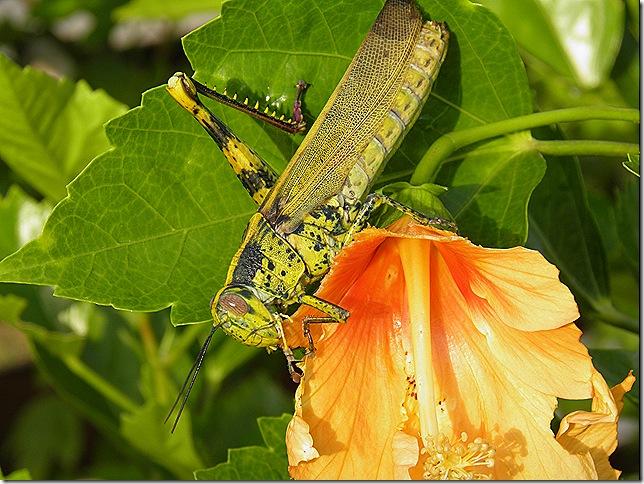 Wanted - a one-legged locust.