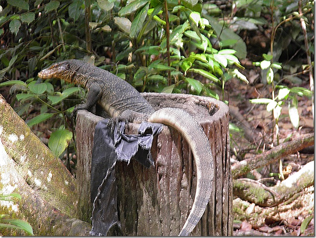 Lizard looking for leftovers