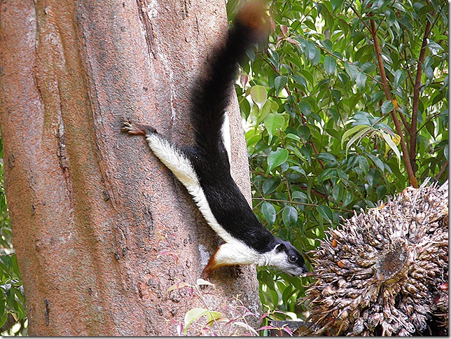 Prevost's Squirrel, Lake Chini