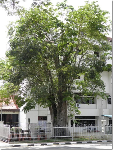 First rubber tree in Malaya.
