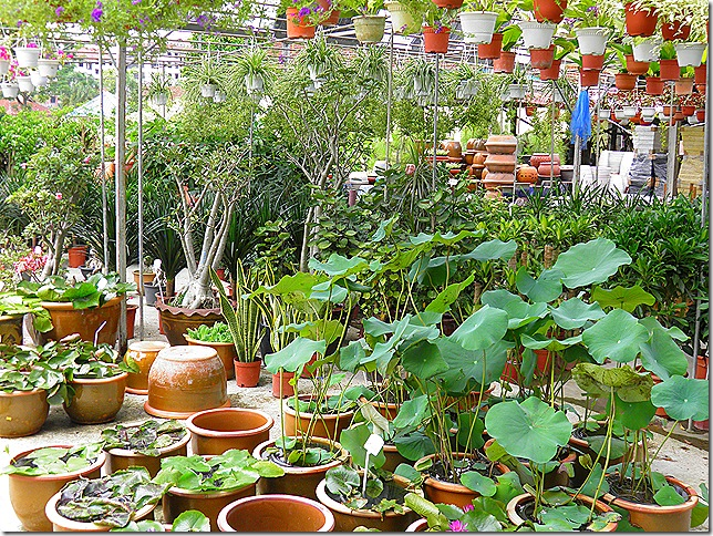 One of the many nurseries at Sungai Buloh. I bought some water-lilies and lotus plants for my pond.