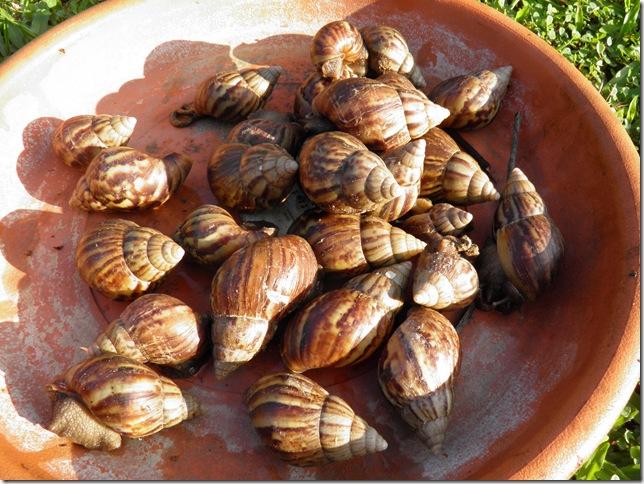 Malaysian escargots?
