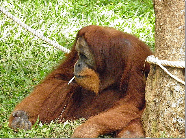 Cruelty to orang-utans