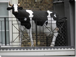 Cow on Balcony