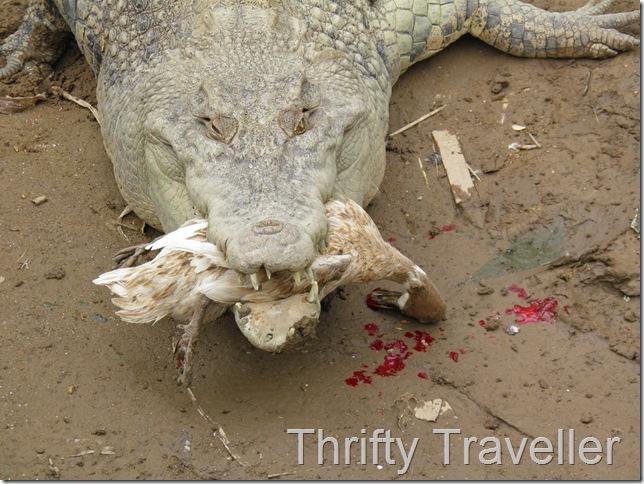 Crocodile Feeding Time at Bukittinggi Zoo