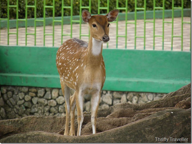 Sweet deer at Bukittinggi Zoo