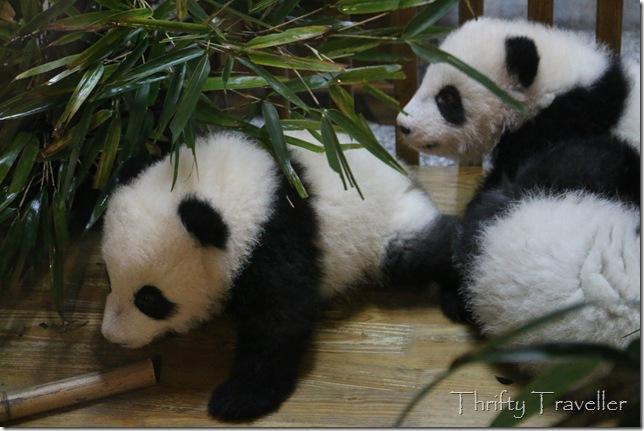 Adorable panda cubs at the Sunshine Nursery House