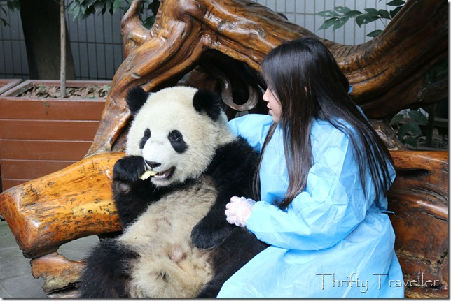 Panda Cuddling at Chengdu Panda Research Base