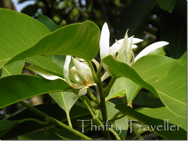 Gardenia Carinata at Taman Putra Perdana, Putrajaya