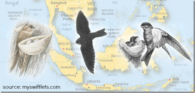 Swiftlets are found all over South East Asia.