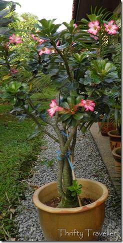 Desert Rose, adenium obesum