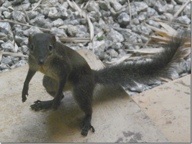 Malaysian Squirrel