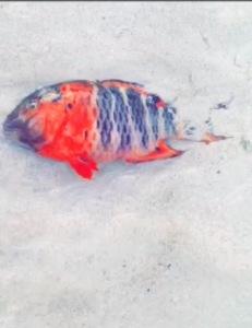 Dead Fish at Redang