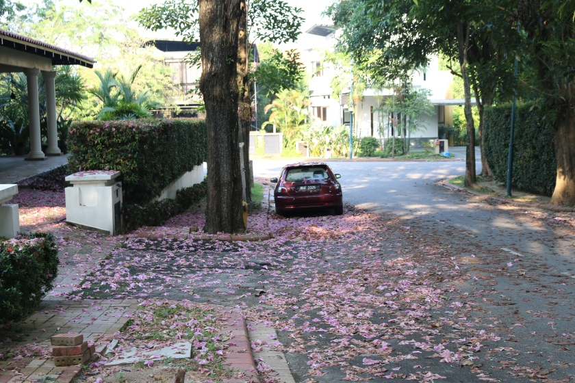 Blooms of the Tabebuia Rosea tree in Malaysia
