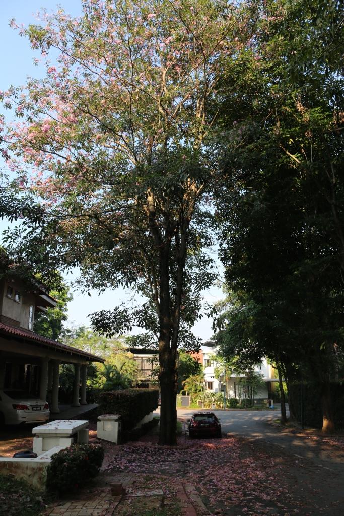 Rosy Trumpet Tree, near Kuala Lumpur