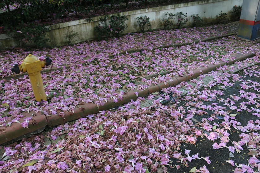 Fallen blooms of the Pink Poui Tree