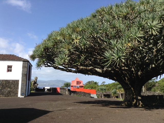 Dragon Tree at the Wine Museum on Pico Island.