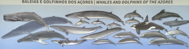 The Azores offer excellent whale-watching opportunities. More than 20 different species of whales and dolphins can be found in the surrounding waters.