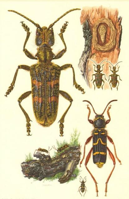 Longicorns (Cerambycidae)