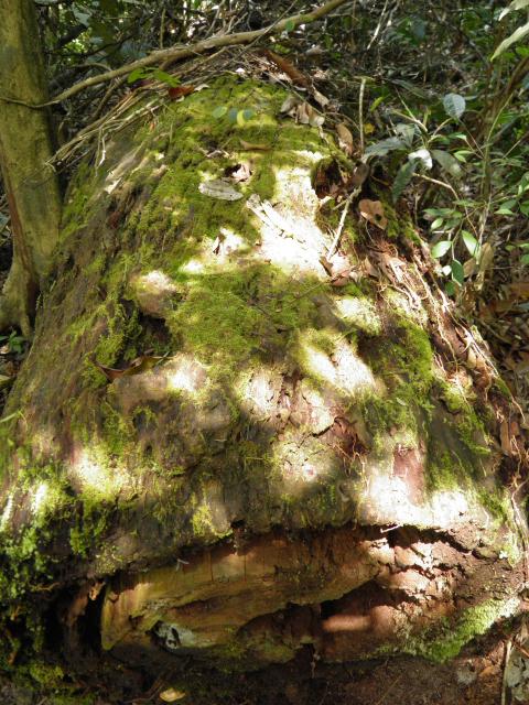 Fallen log at Gunung Ledang National Park