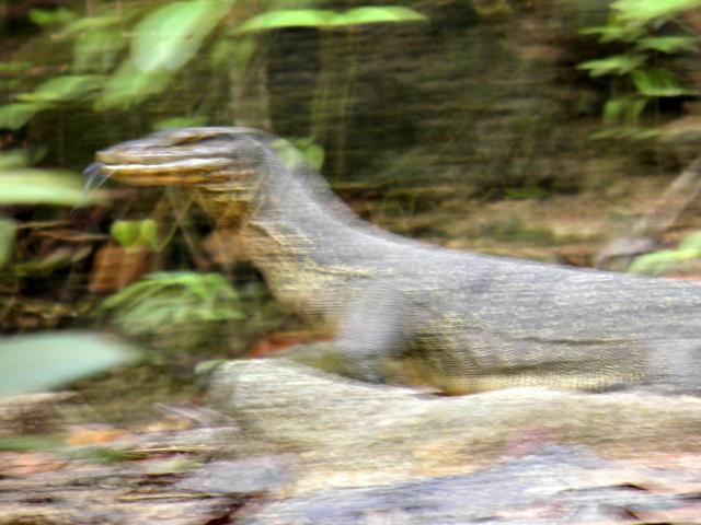 Monitor Lizard at Gunung Ledang.