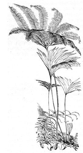 Rare Ferns on Mt. Ophir