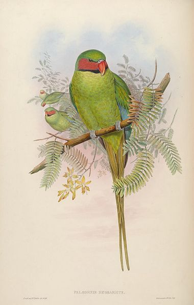 long- tailed parroquet