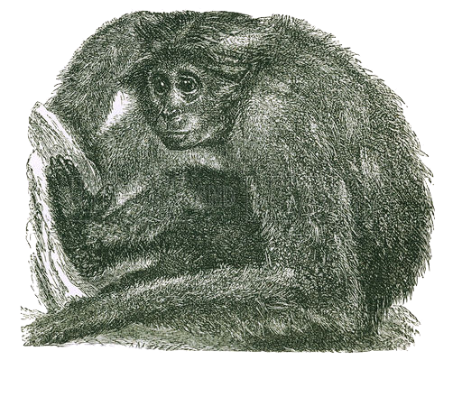 The Siamang. Engraving from J G Wood's Illustrated Natural History (c 1850).