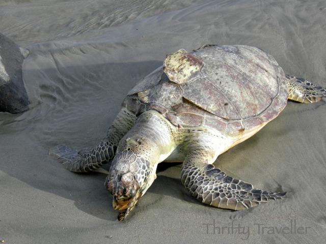 Dead turtle in Bengkulu