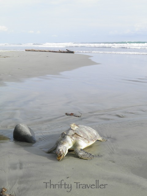 Turtle on the beach at Bengkulu