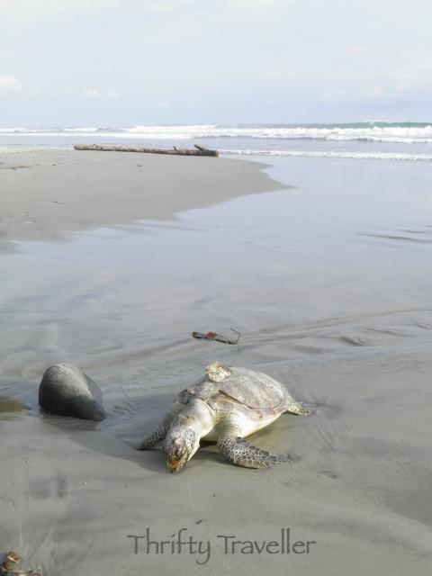 Turtle on the beach at Bengkulu