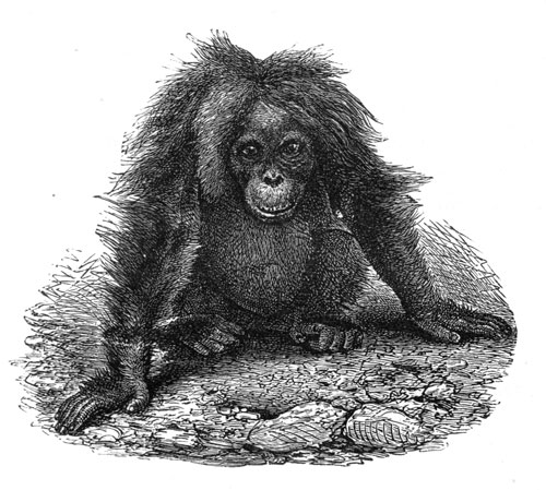 FEMALE ORANG-UTAN copy