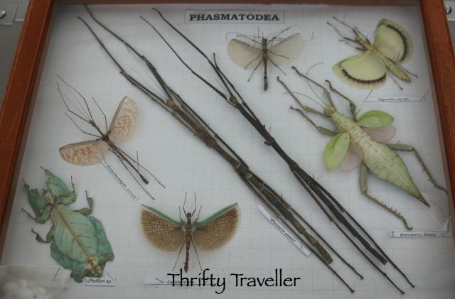Phasmatodea