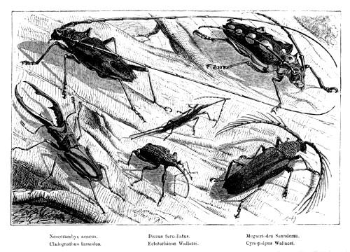 REMARKABLE BEETLES FOUND AT SIMUNJON, BORNEO