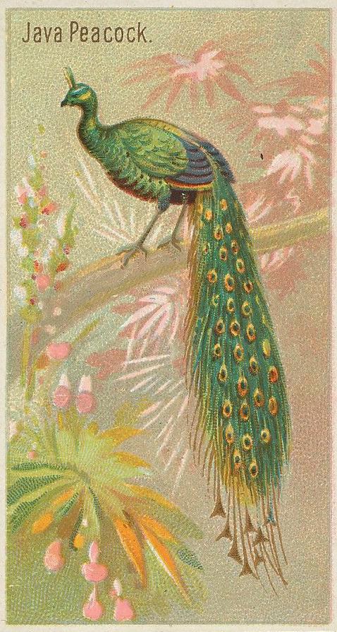 java-peacock