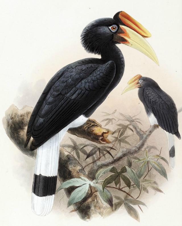 javan-rhinoceros-hornbill