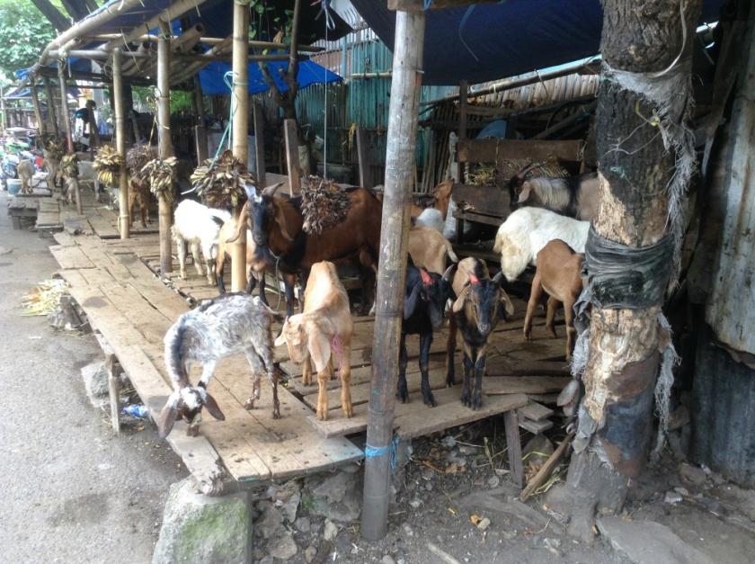 GoatMarketMakassar
